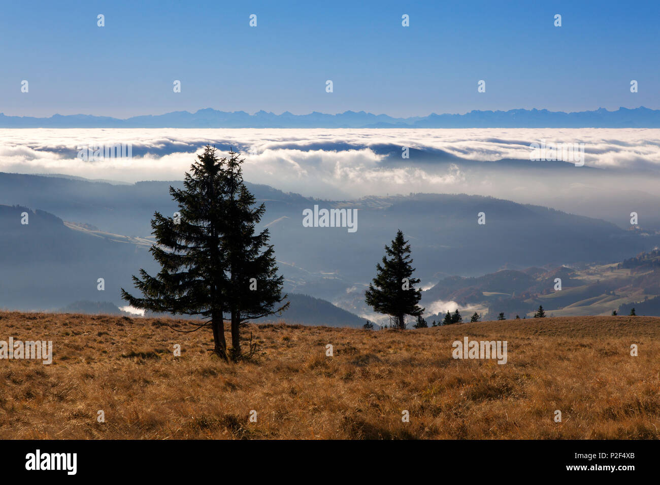 Fir trees at Belchen, Black Forest, Baden-Wuerttemberg, Germany - Stock Image