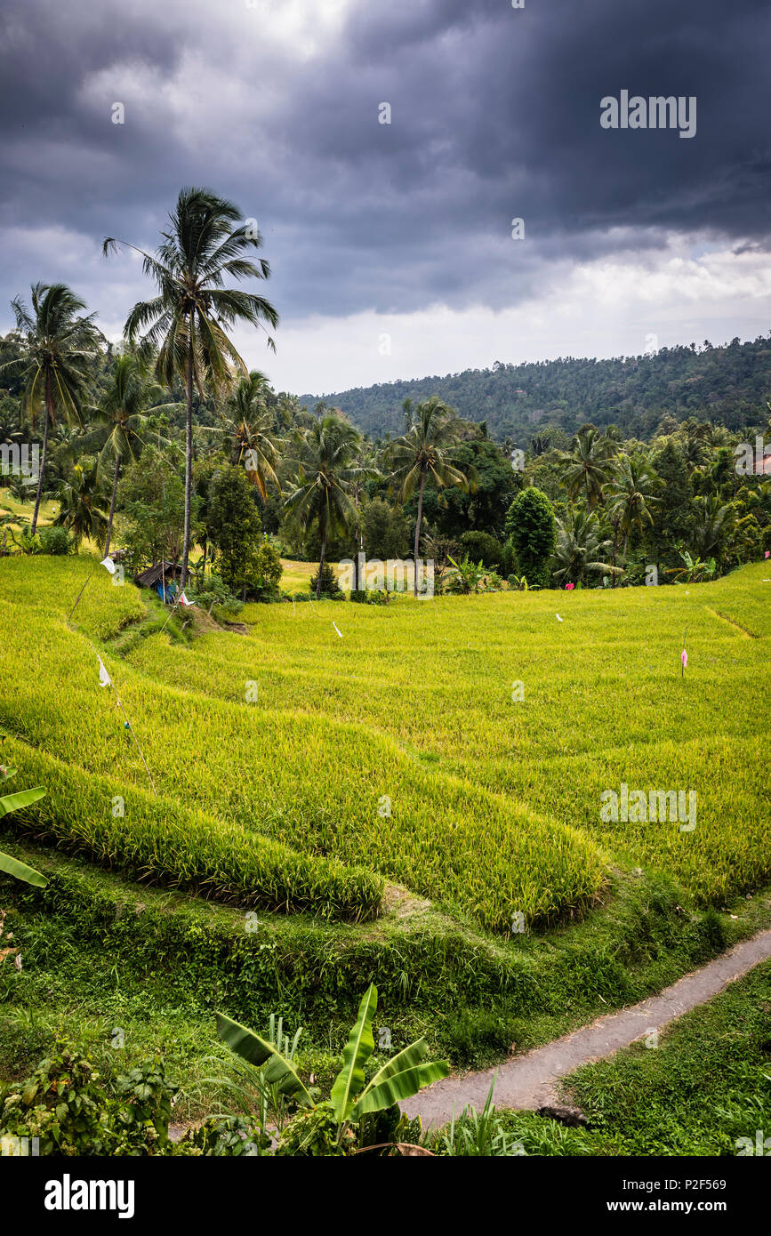 Green rice terraces with palm trees - Indonesia, Java - Stock Image