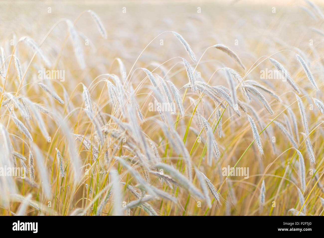 Ears of corn in a field, Wheat, rye, Baltic sea, Bornholm, Denmark, Europe - Stock Image