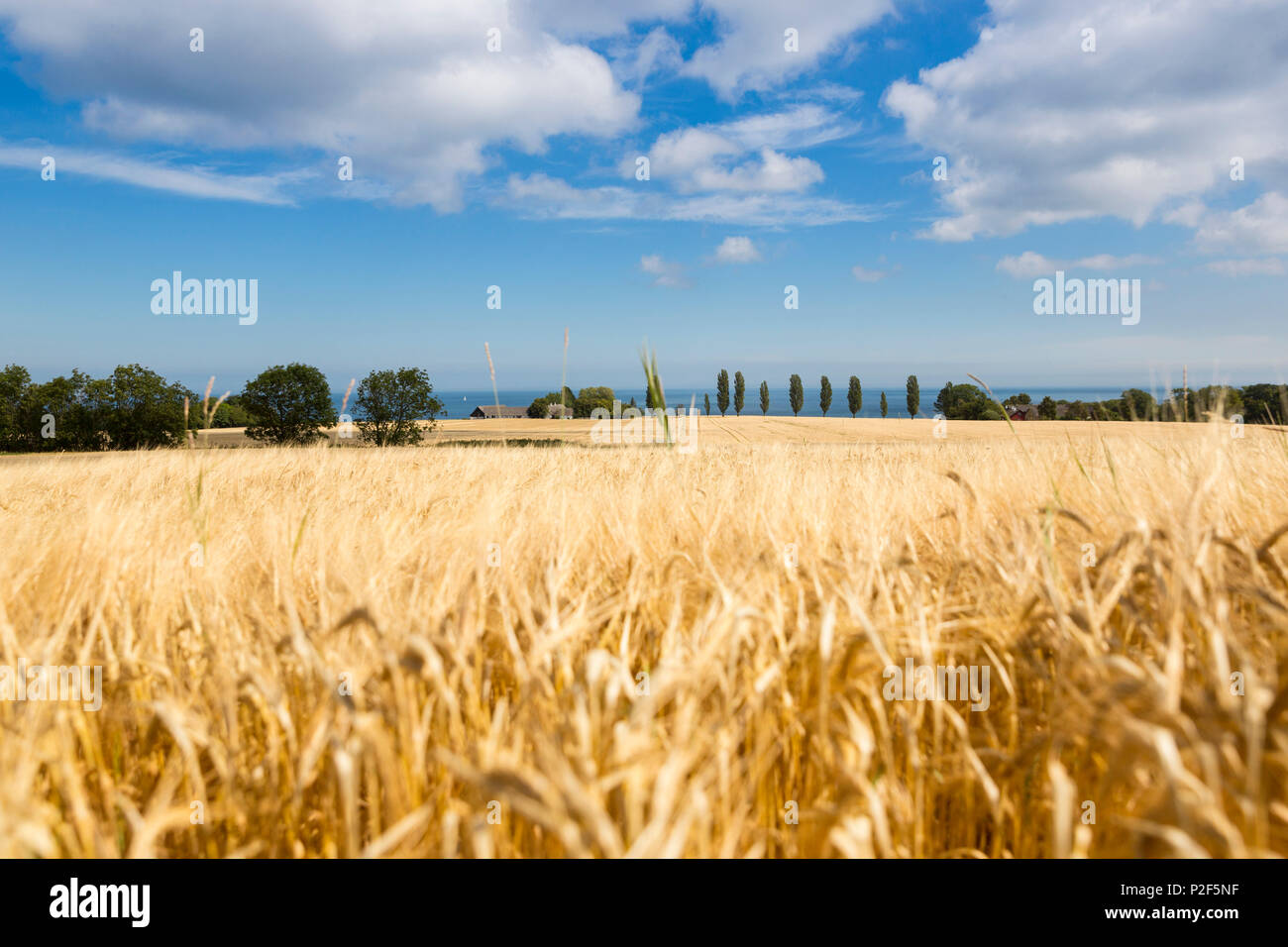 Cornfield in summer, Baltic sea, Bornholm, near Gudhjem, Denmark, Europe Stock Photo