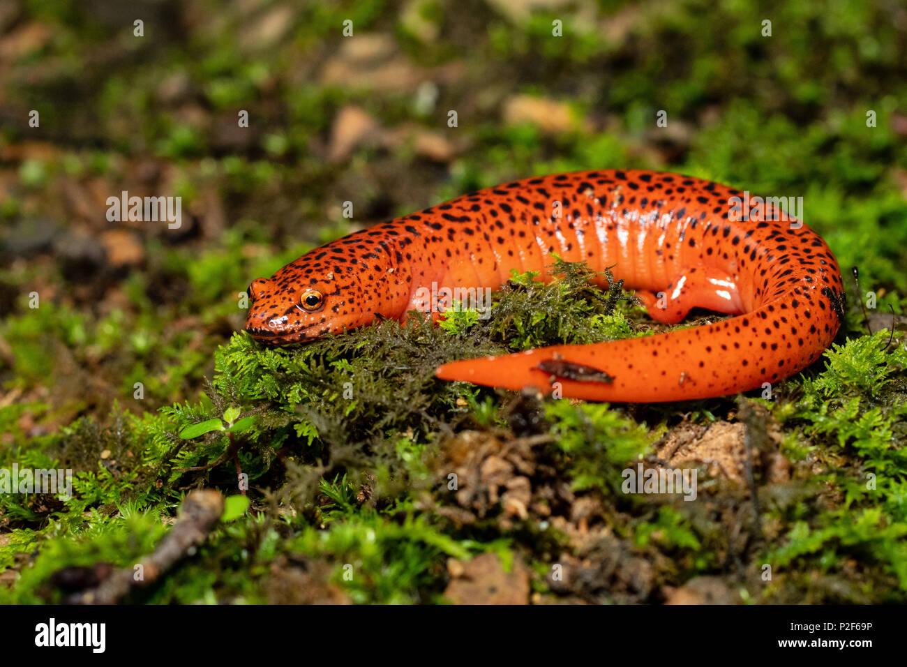 colorful salamander stock photos colorful salamander stock images