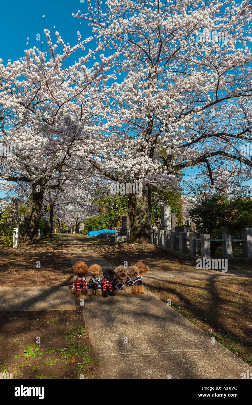 Cute small dogs dressed up under cherry blossoms at Aoyama Cemetery, Roppongi, Tokyo, Japan - Stock Image