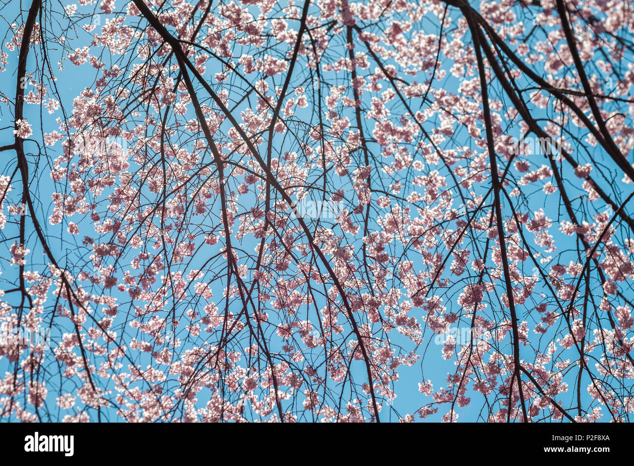 Branches of cherry tree with blossoms against cyan sky, Bunkyo-ku, Tokyo, Japan - Stock Image