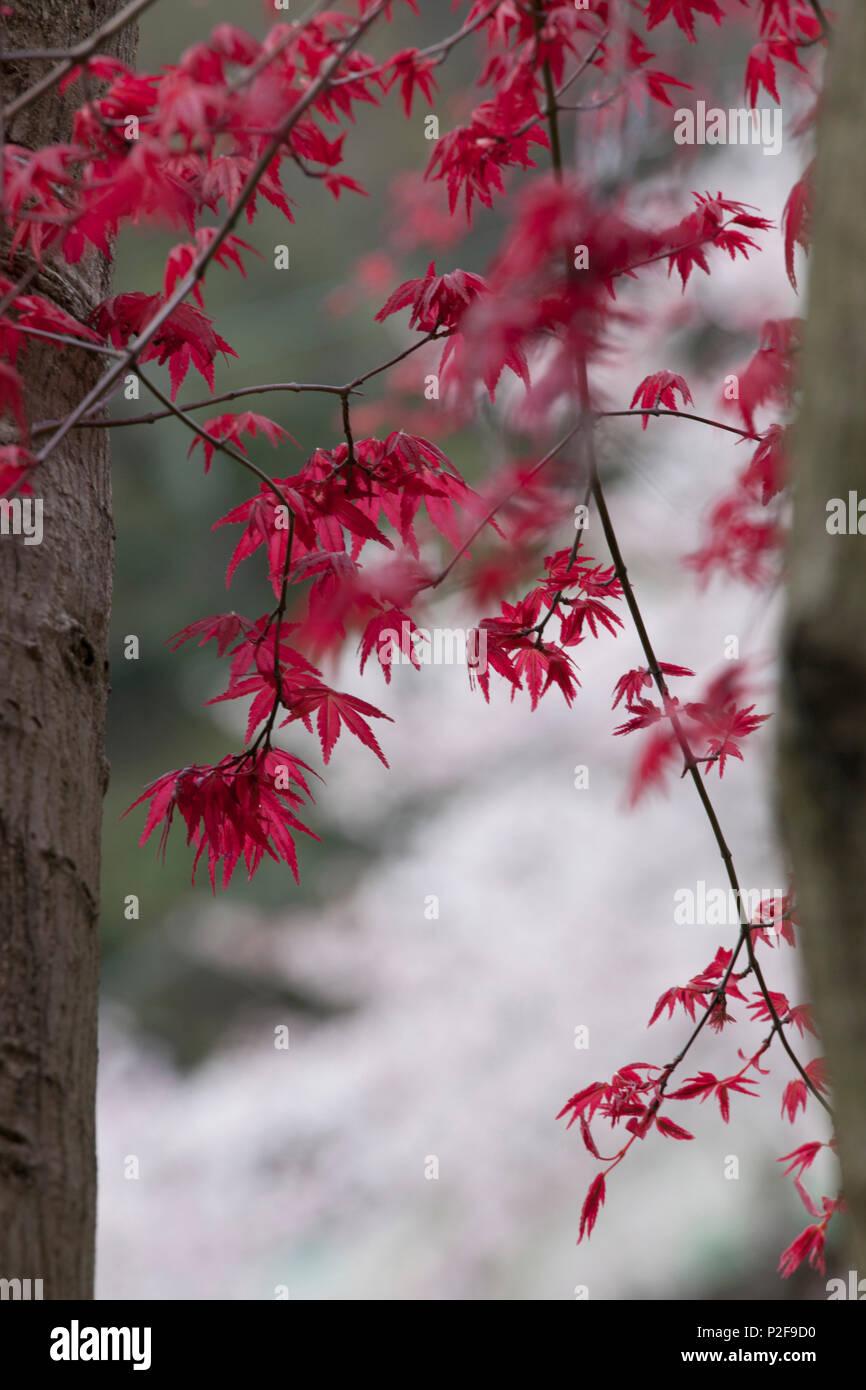 Red maple leaves in Hakone, Yumoto, Kanagawa Prefecture, Japan - Stock Image