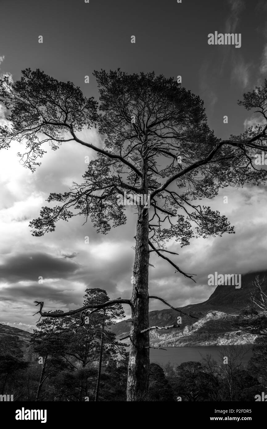 Black & White silhouetted image of a single pine tree in the Beinn Eighe (Ben Eighe) Nature Reserve above Loch Maree in the Highlands of Scotland - Stock Image