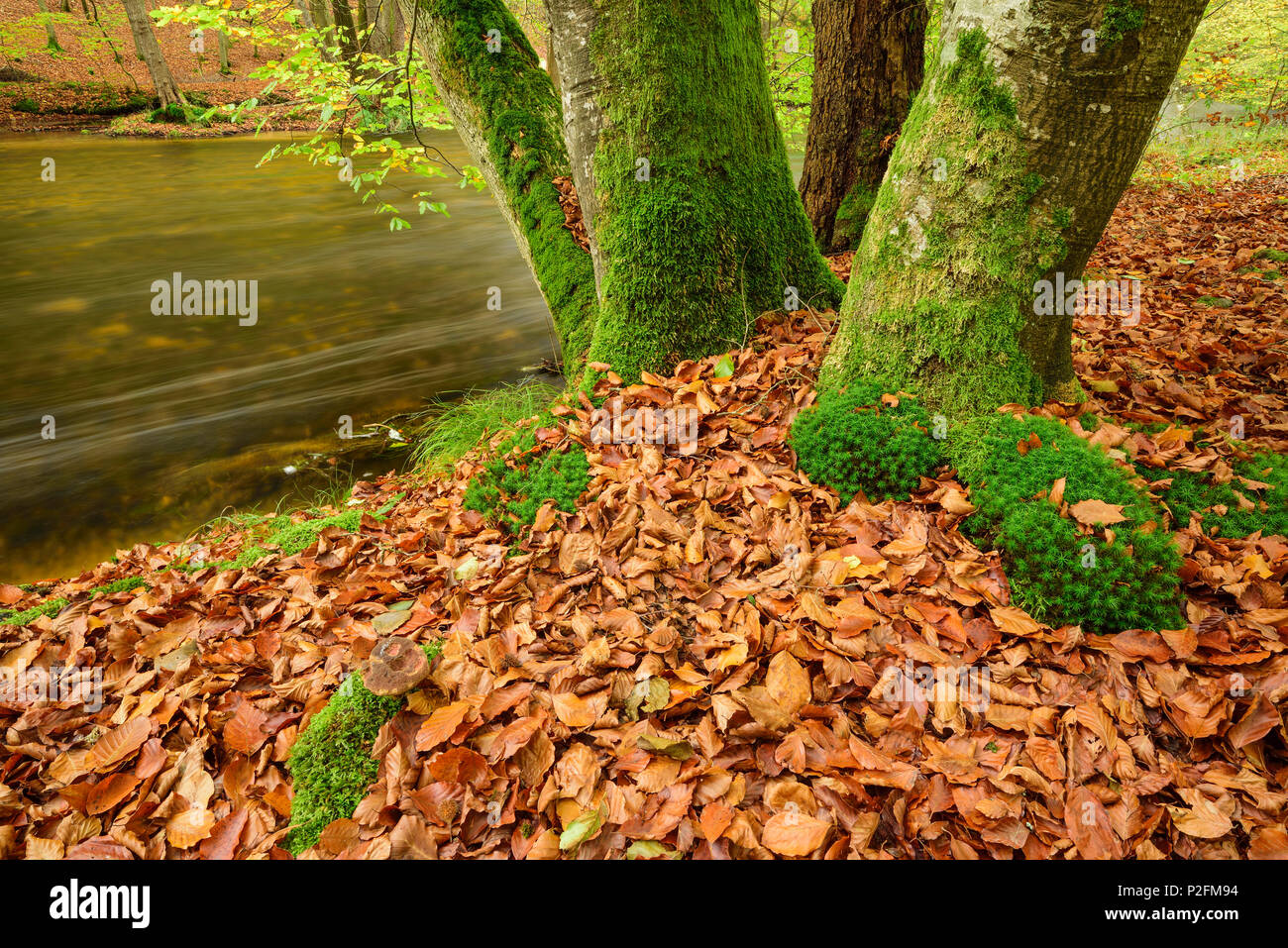 Stream flowing through beech trees in autumn colours, Wuerm valley, Upper Bavaria, Bavaria, Germany - Stock Image