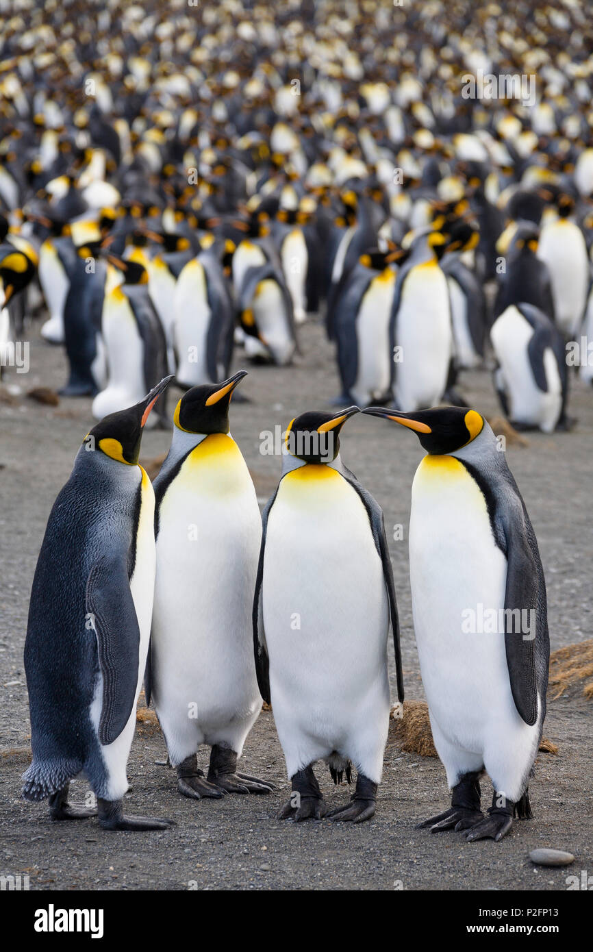 King Penguins in colony, Aptenodytes patagonicus, colony, Gold Harbour, South Georgia, Antarctica - Stock Image