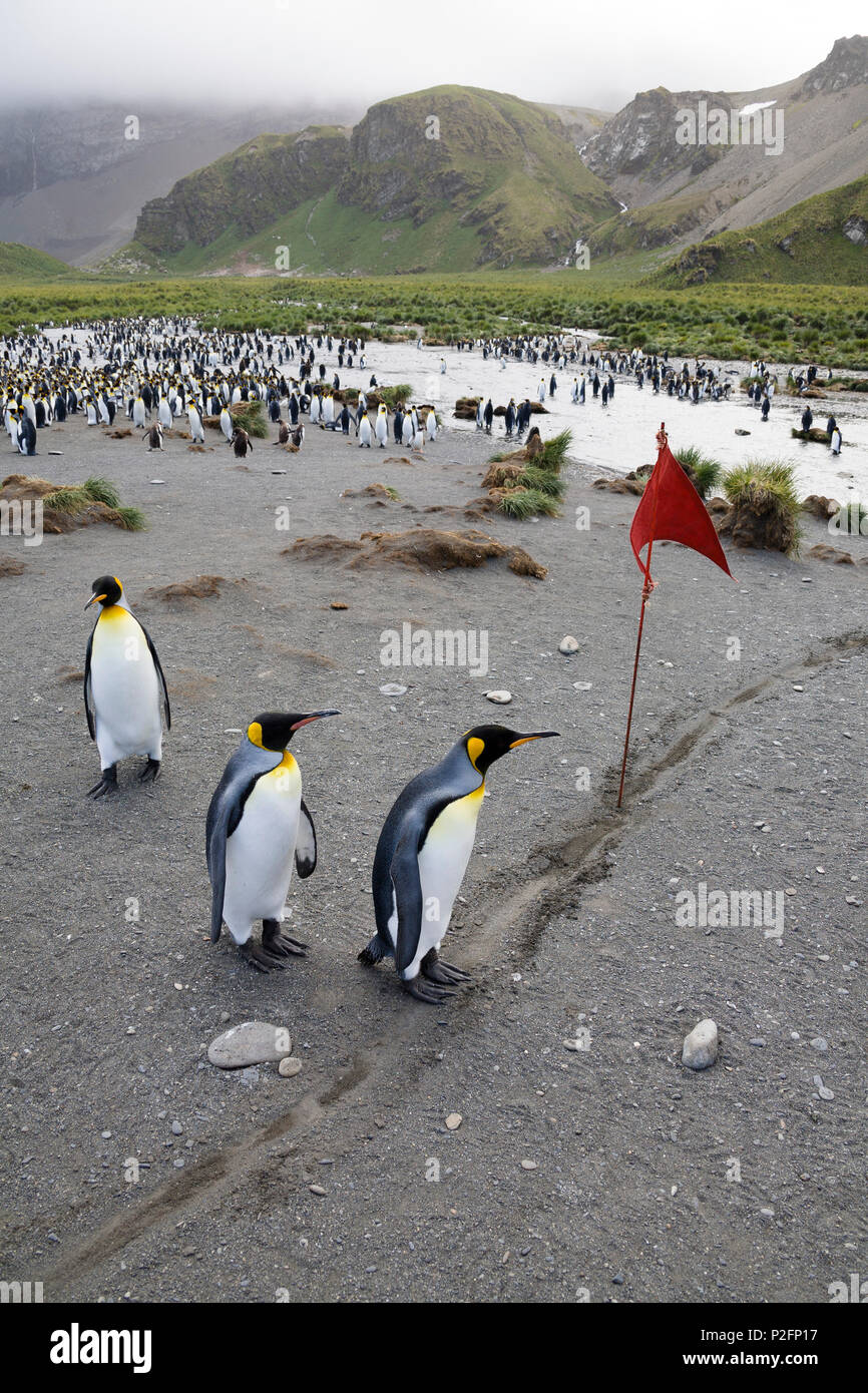 Penguin race, King Penguins, Aptenodytes patagonicus, Gold Harbour, South Georgia, Antarctica - Stock Image