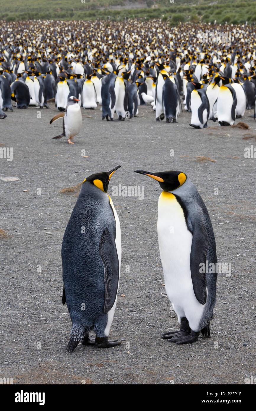 King Penguins, Aptenodytes patagonicus, Gold Harbour, South Georgia, Antarctica - Stock Image