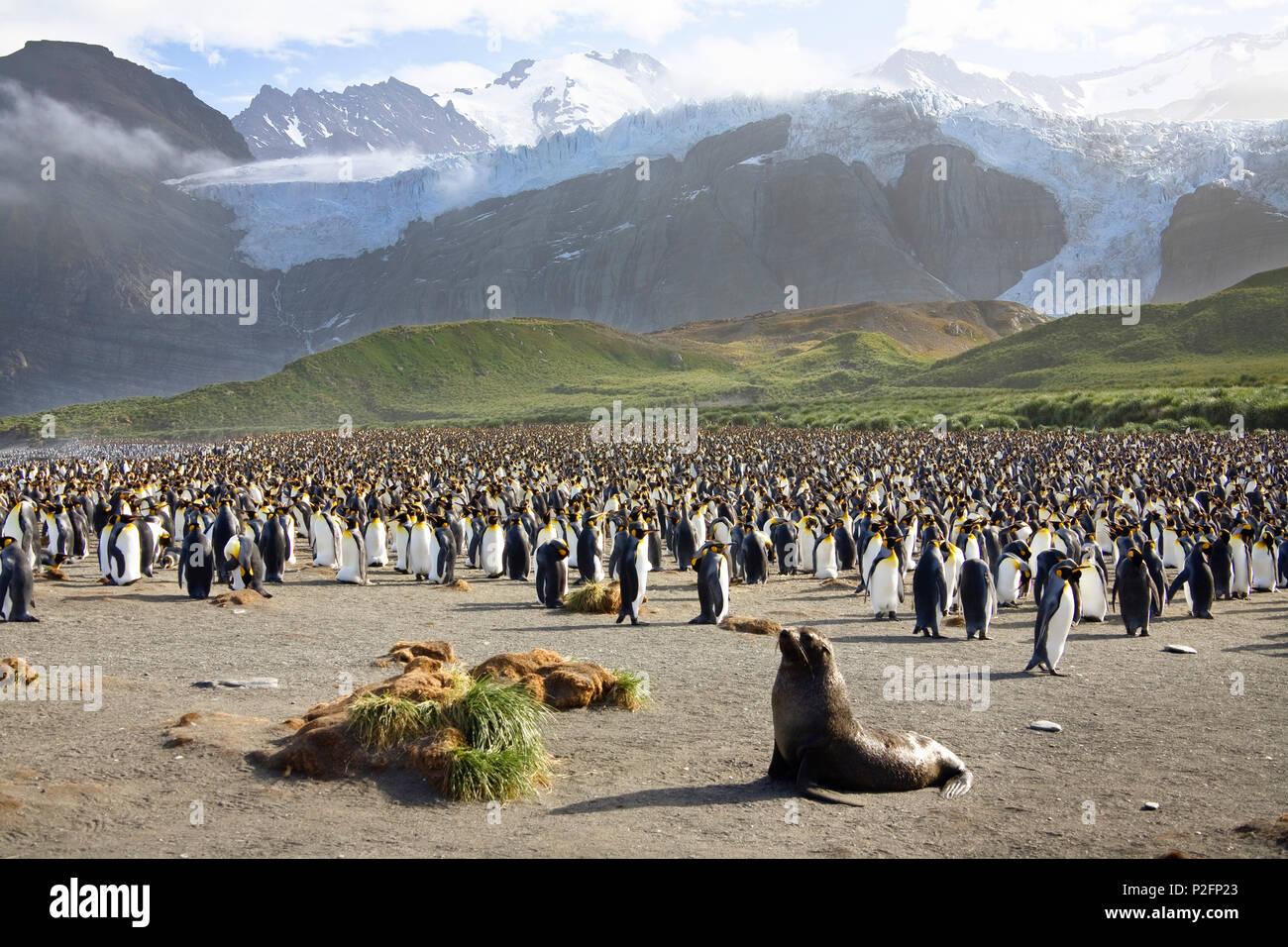 King Penguins, Aptenodytes patagonicus, colony, Gold Harbour, South Georgia, Antarctica - Stock Image