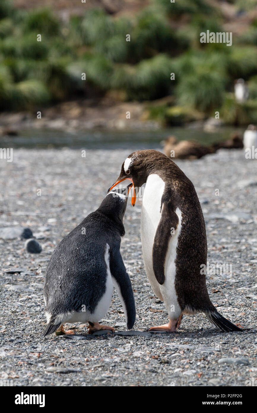 Gentoo Penguins, feeding chick, Pygoscelis papua, Gold Harbour, South Georgia, Subantarctic, Antarctica - Stock Image