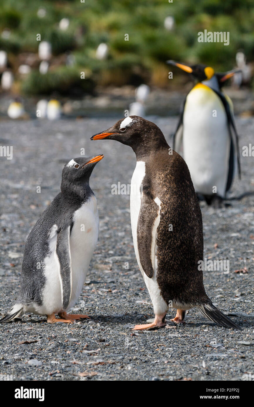 Gentoo Penguins, chick begging for food, Pygoscelis papua, Gold Harbour, South Georgia, Subantarctic, Antarctic - Stock Image