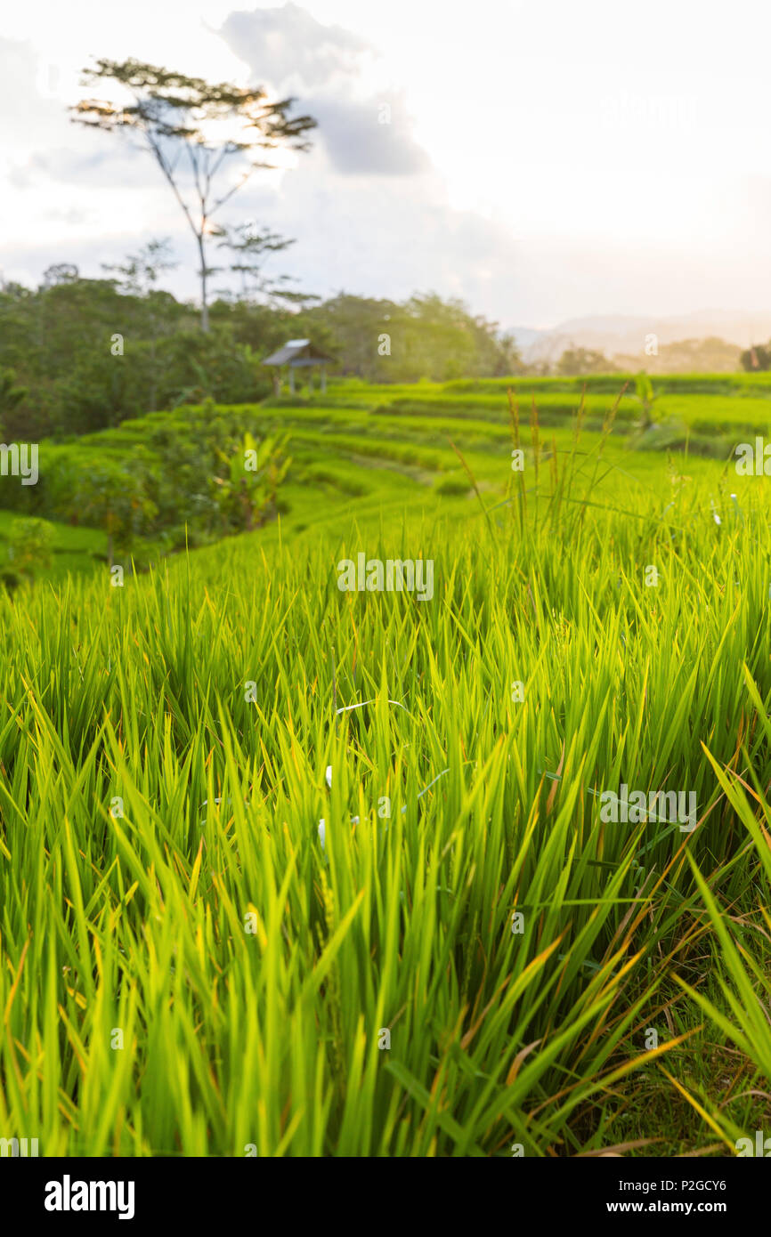Rice terraces, Sidemen, Bali, Indonesia - Stock Image