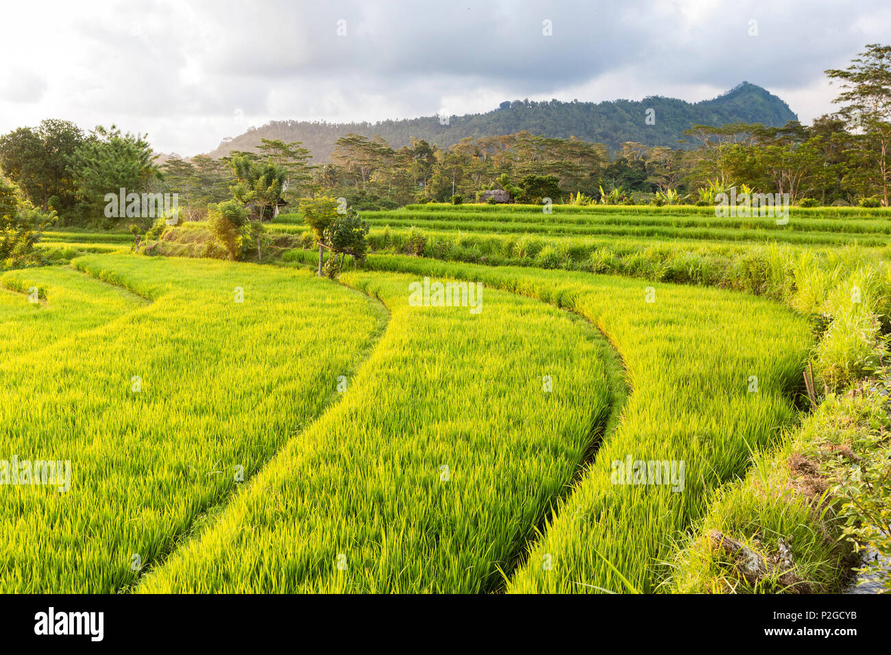 Rice terraces, Sidemen, Bali, Indonesia, Asia - Stock Image