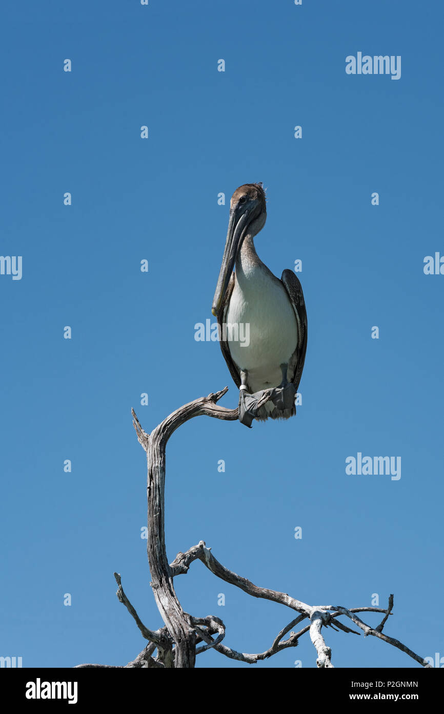 Brown Pelican (Pelecanidae) on a dry branch at the Gulf of Mexico, Yucatan, Mexico - Stock Image
