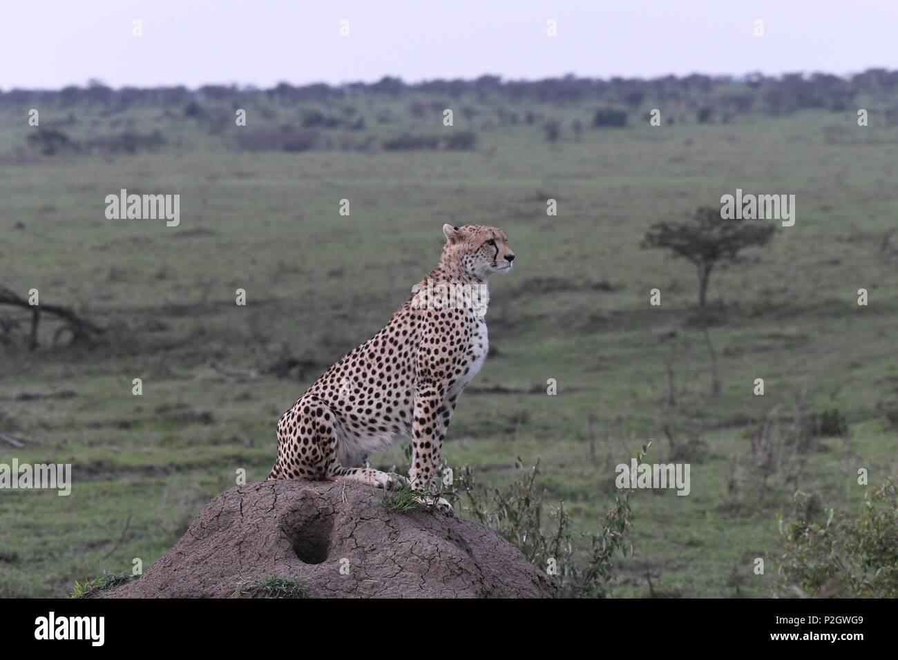 Lone cheetah sitting on the green Maasai Mara savannah looking for prey. Picture taken early morning, Olare Motorogi Conservancy. Acinonyx jubatus - Stock Image