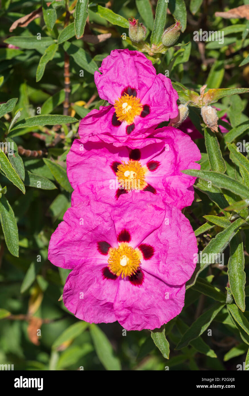 Pink Shrubby Rock Rose Flowers From The Genus Cistus From The