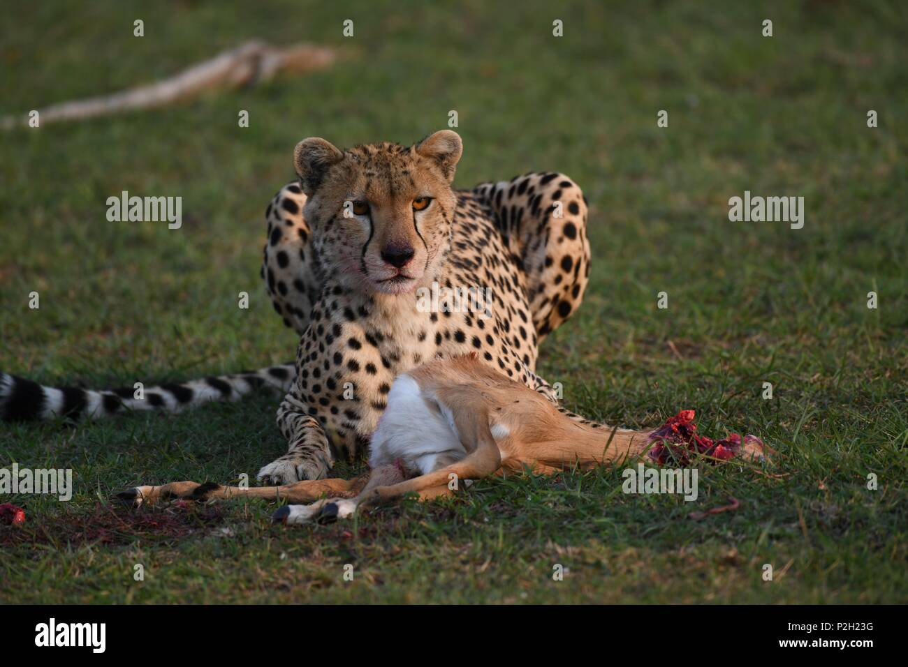Lone cheetah sitting on the green Maasai Mara savannah eating its prey. Picture taken early morning, Olare Motorogi Conservancy. Acinonyx jubatus - Stock Image