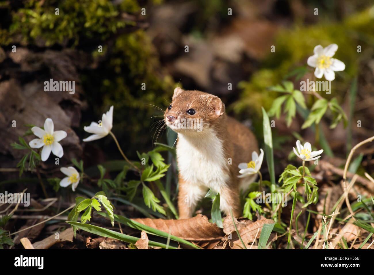 Weasel standing upright, Mustela nivalis, Germany - Stock Image