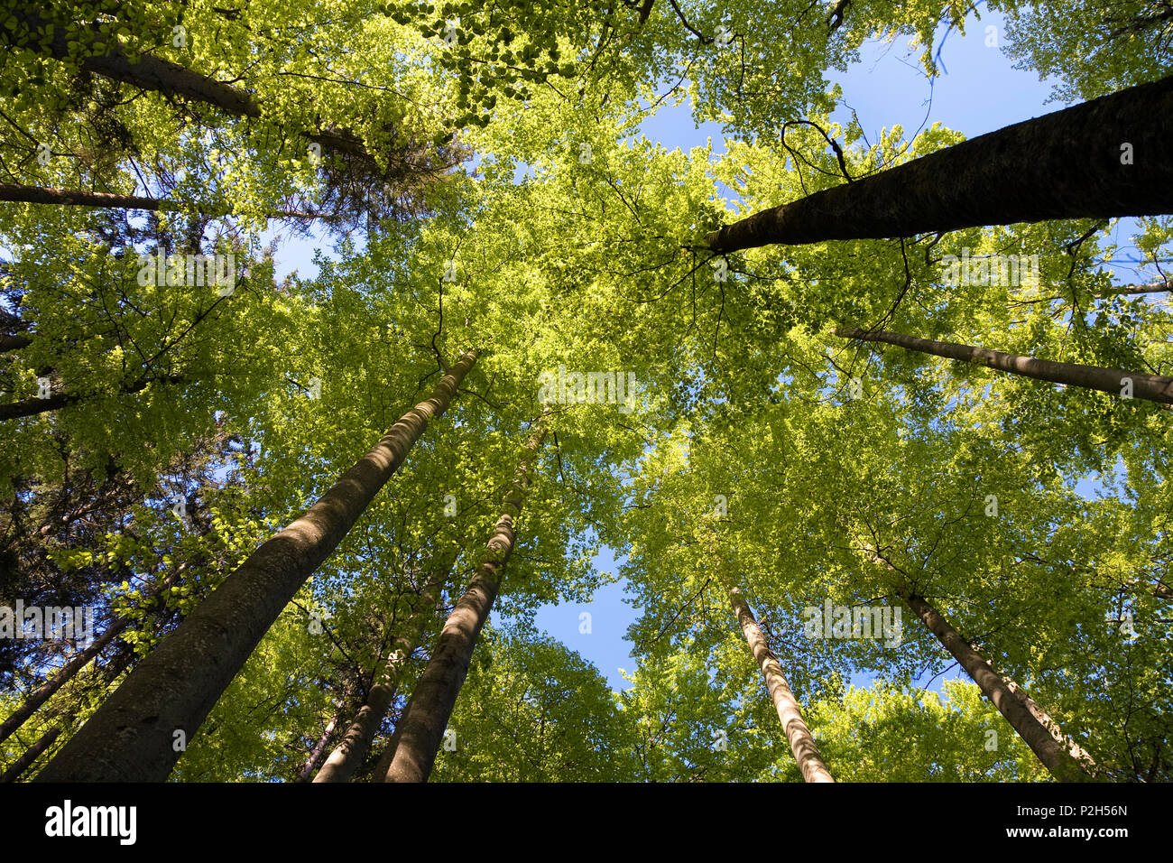 beech-forest in spring, Fagus sylvatica - Stock Image