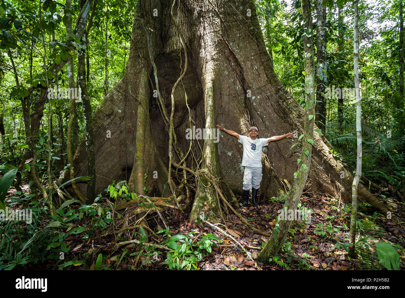 Giant tree with buttress roots in the rainforest at Tambopata river, Tambopata National Reserve, Peru, South America Stock Photo