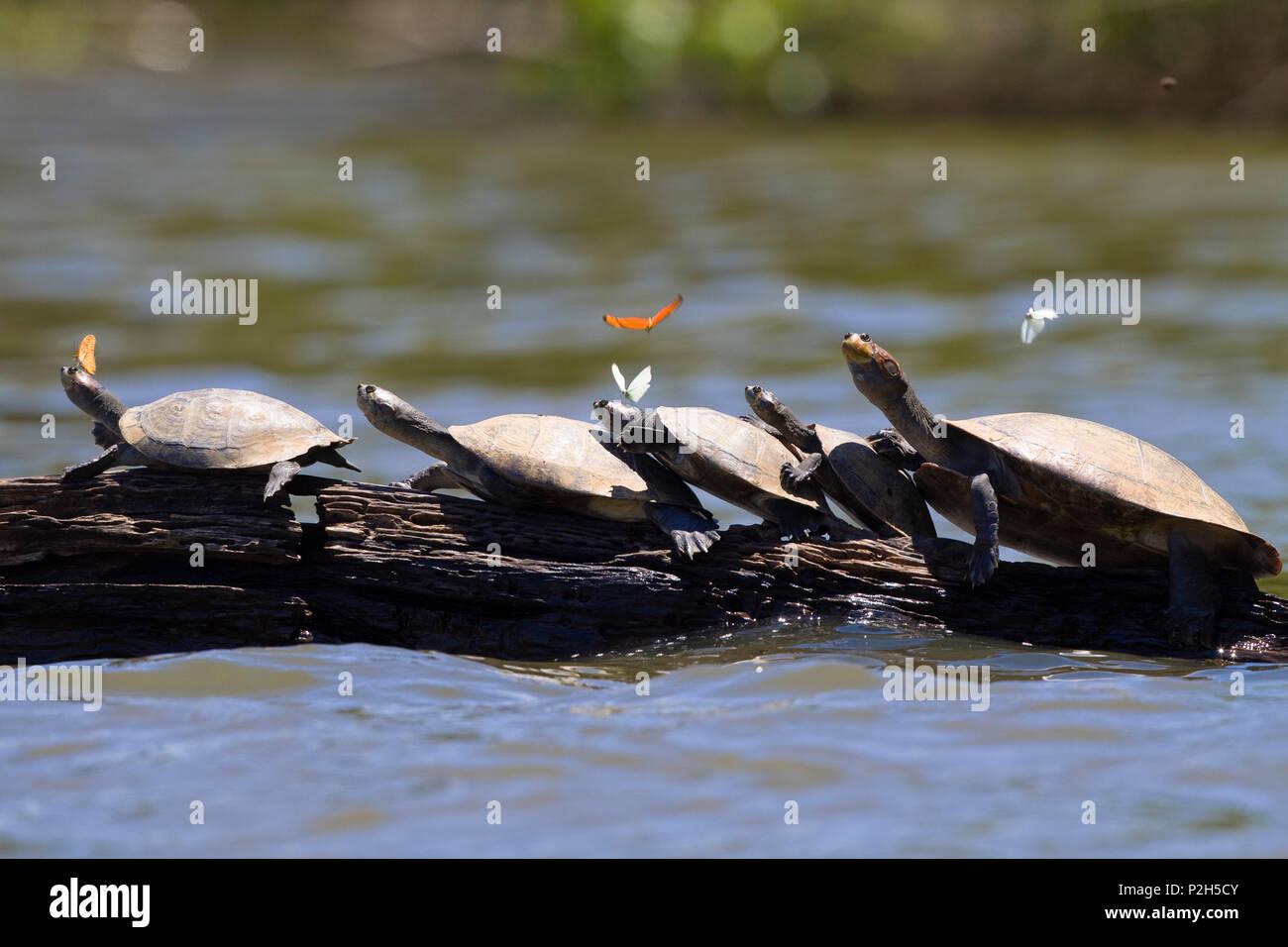 Amazon River Turtles, Podocnemis unifilis, Tambopata National Reserve, Peru, South America - Stock Image