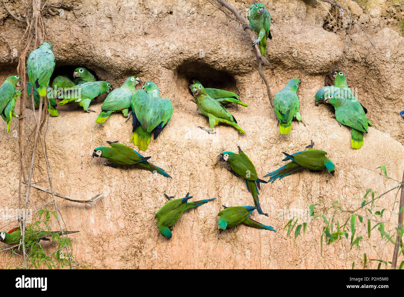 parrots at saltlick in rainforest at Tambopata river, Tambopata National Reserve, Peru, South America - Stock Image