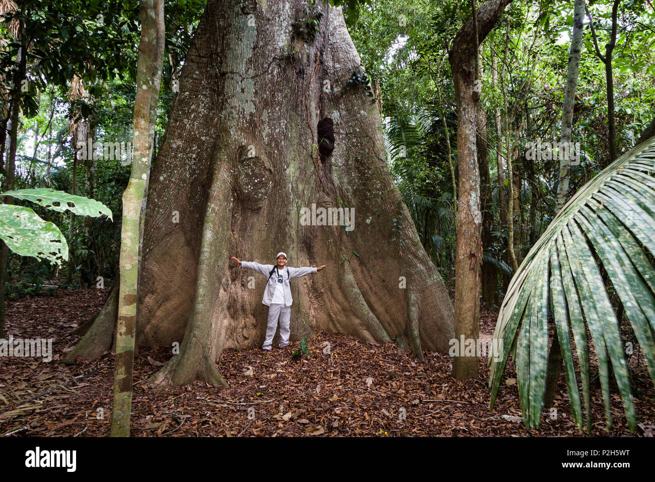 Giant tree with buttress roots in the rainforest at Tambopata river, Tambopata National Reserve, Peru, South America - Stock Image
