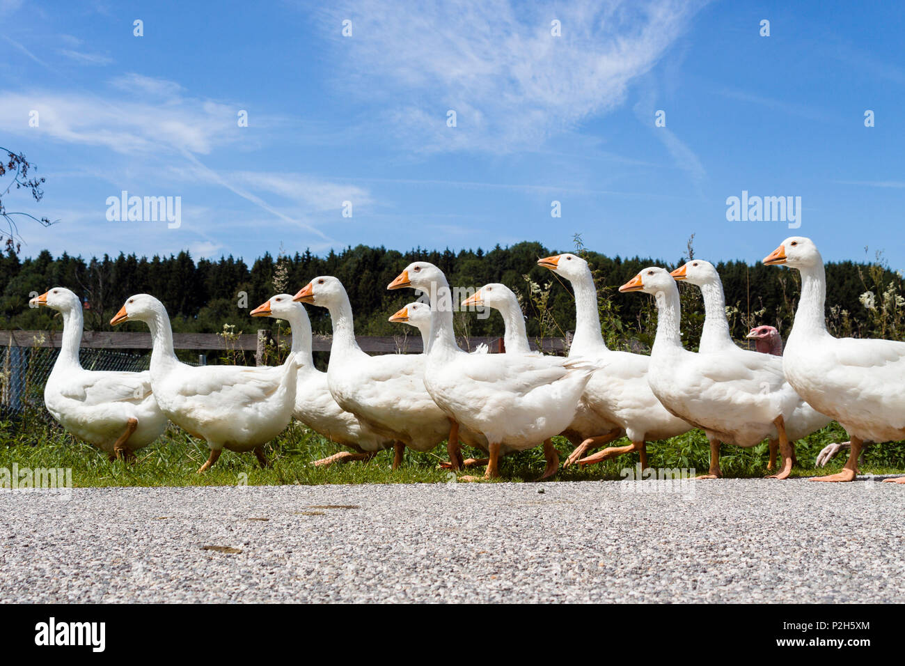 Domestic geese walking in a row, Upper Bavaria, Germany, Europe - Stock Image