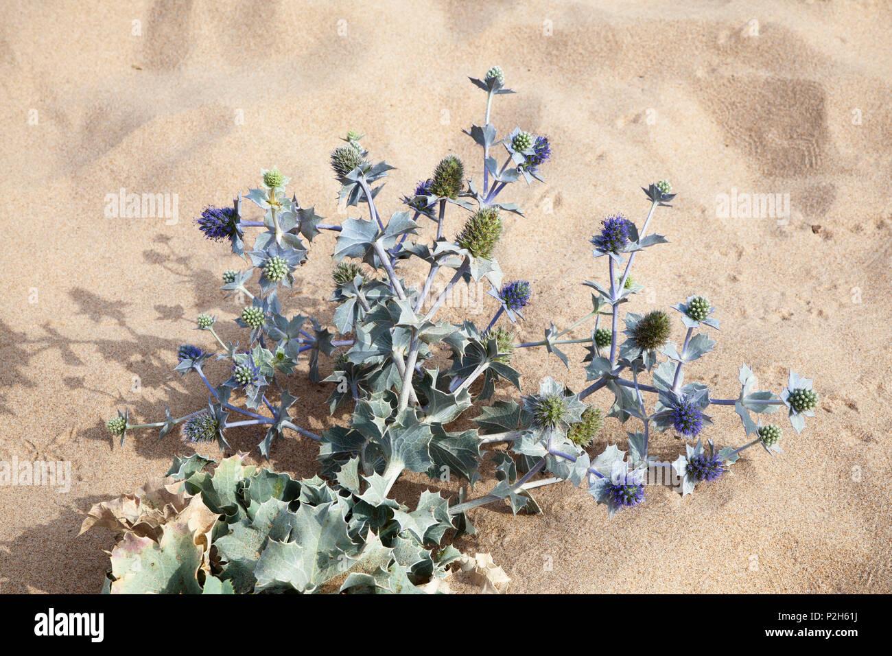 Beach Thistle, Eryngium maritimum, Algarve, Portugal, Europe - Stock Image