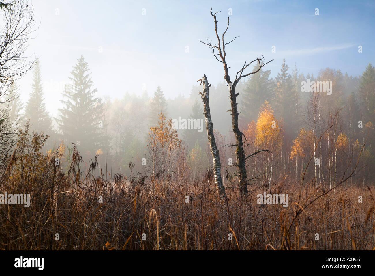 Autumn in moor, Upper Bavaria, Germany, Europe - Stock Image
