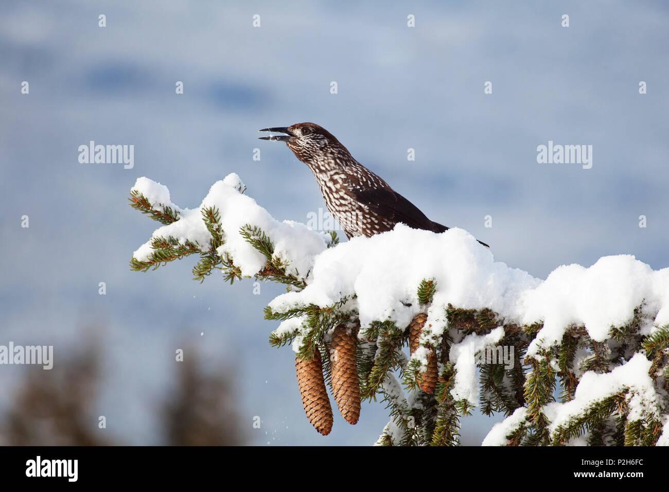 Nutcracker on spruce, Nucifraga caryocatactes, Bavaria, Germany - Stock Image