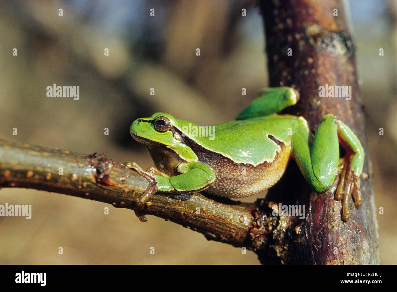 Tree Frog, Hyla arborea, Austria Stock Photo