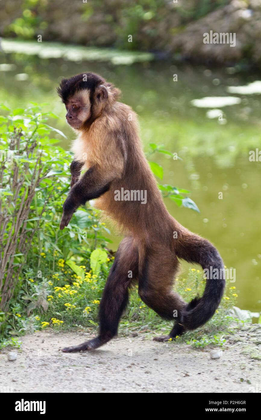 Capucin Monkey walking upright, Sapajus apella, Cebus apella, zoo, South America - Stock Image