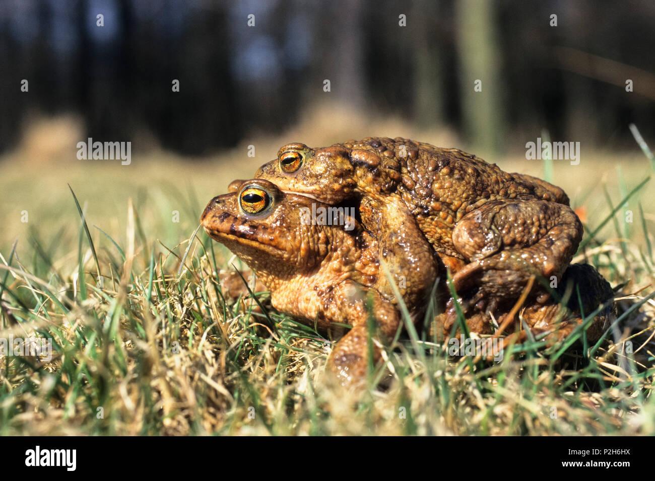 Toads mating, Bufo bufo, Bavaria, Germany - Stock Image