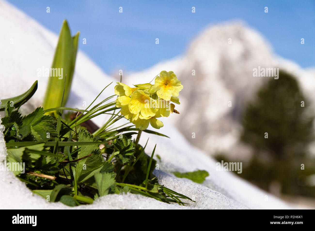 Cowslip in snow, Primula elatior, Alps, Upper Bavaria, Germany, Europe Stock Photo