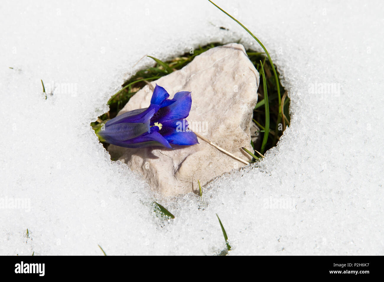 Gentian in snow, Gentiana clusii, Upper Bavaria, Germany, Europe - Stock Image