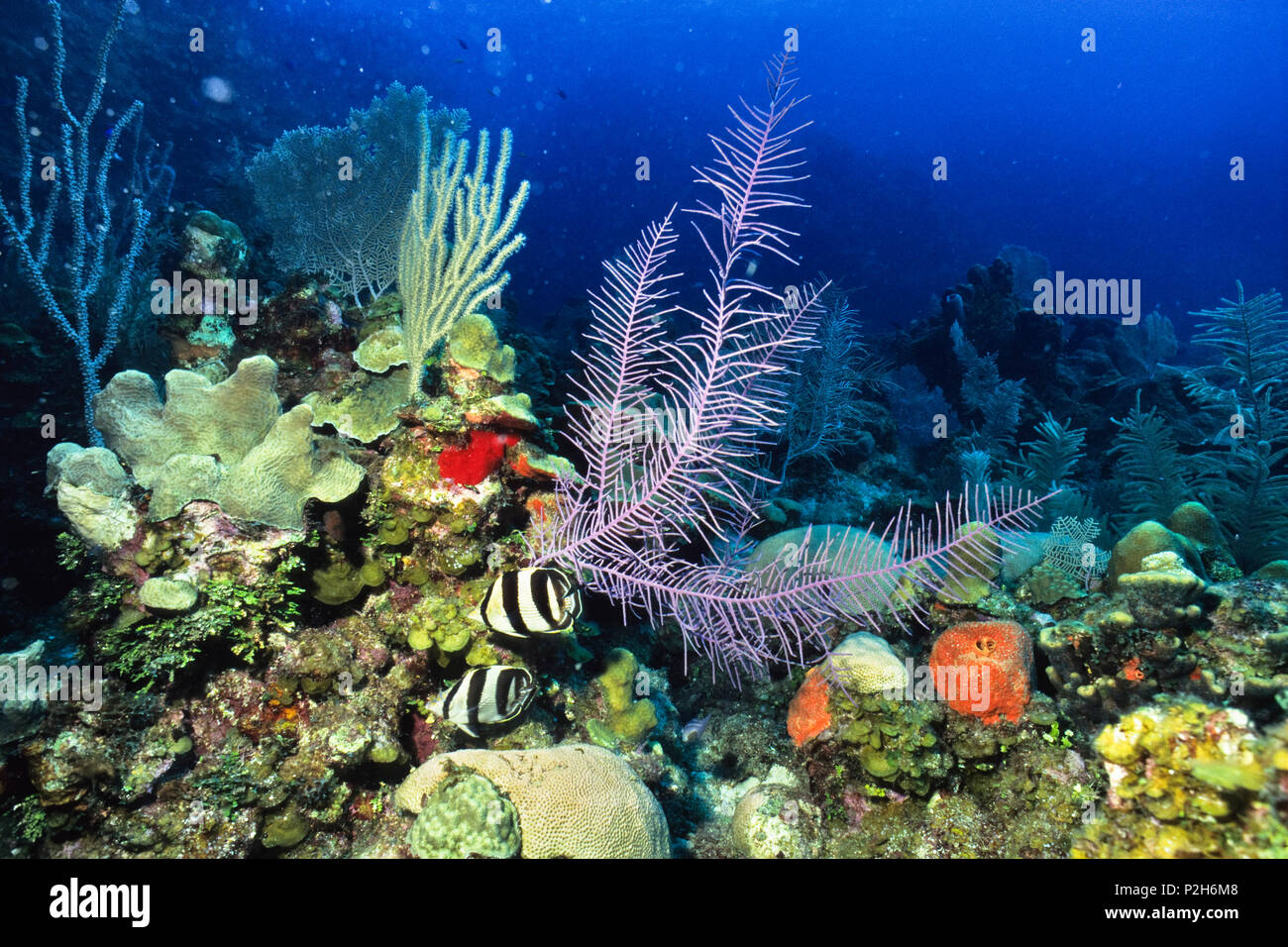 Banded Butterflyfish in Coral Reef, Chaetodon striatus, Honduras, Caribbean, South America - Stock Image