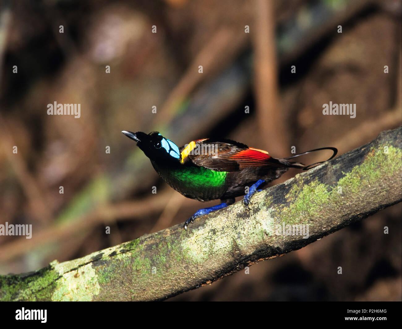 Wilson's Bird of Paradise male, Cicinnurus respublica, Batanta Island, West Papua, Newguinea, Indonesia - Stock Image