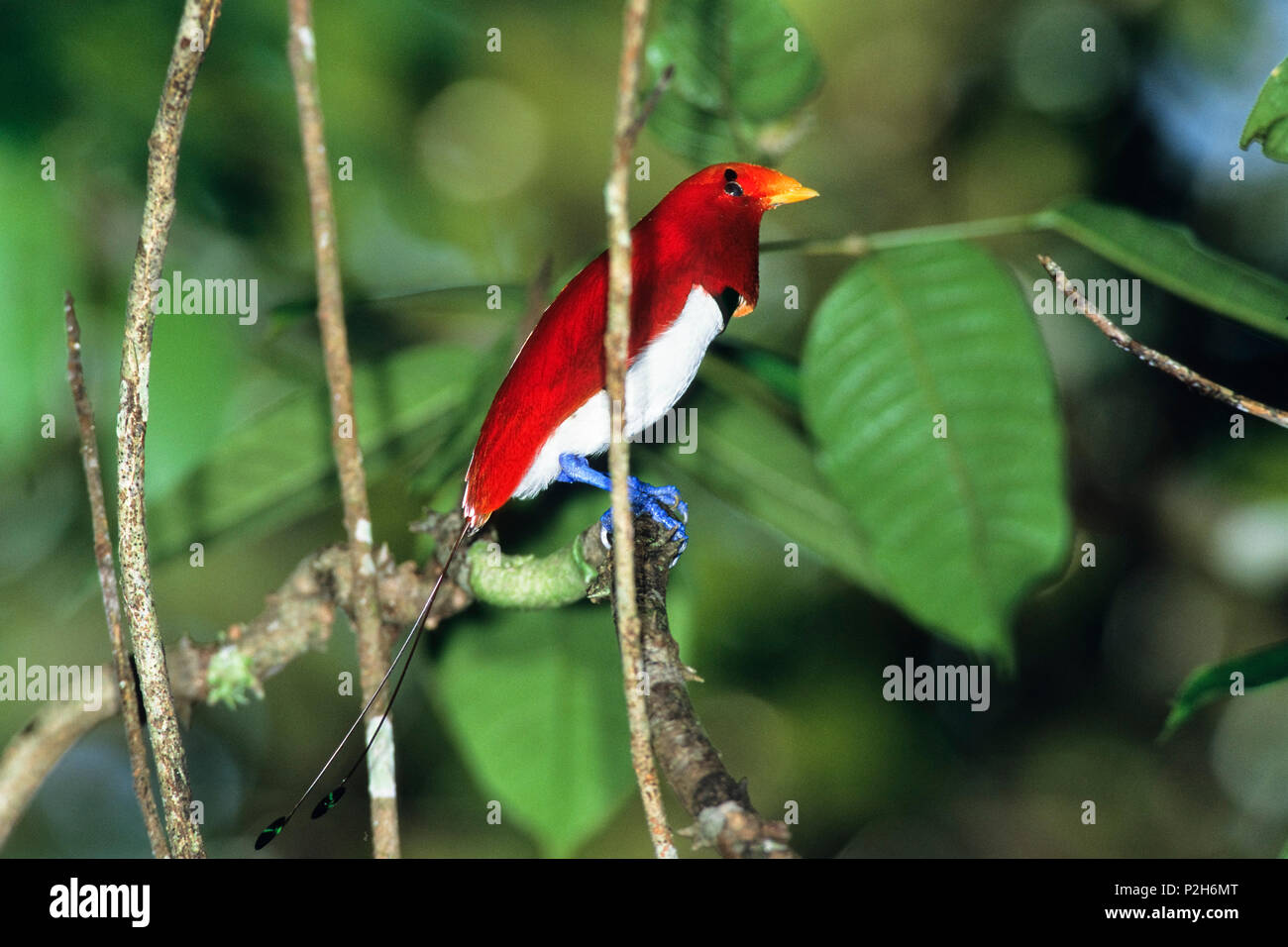 King Bird of Paradise, male, displaying, Cicinnurus regius, West-Papua, Irian Jaya, New Guinea, Indonesia - Stock Image
