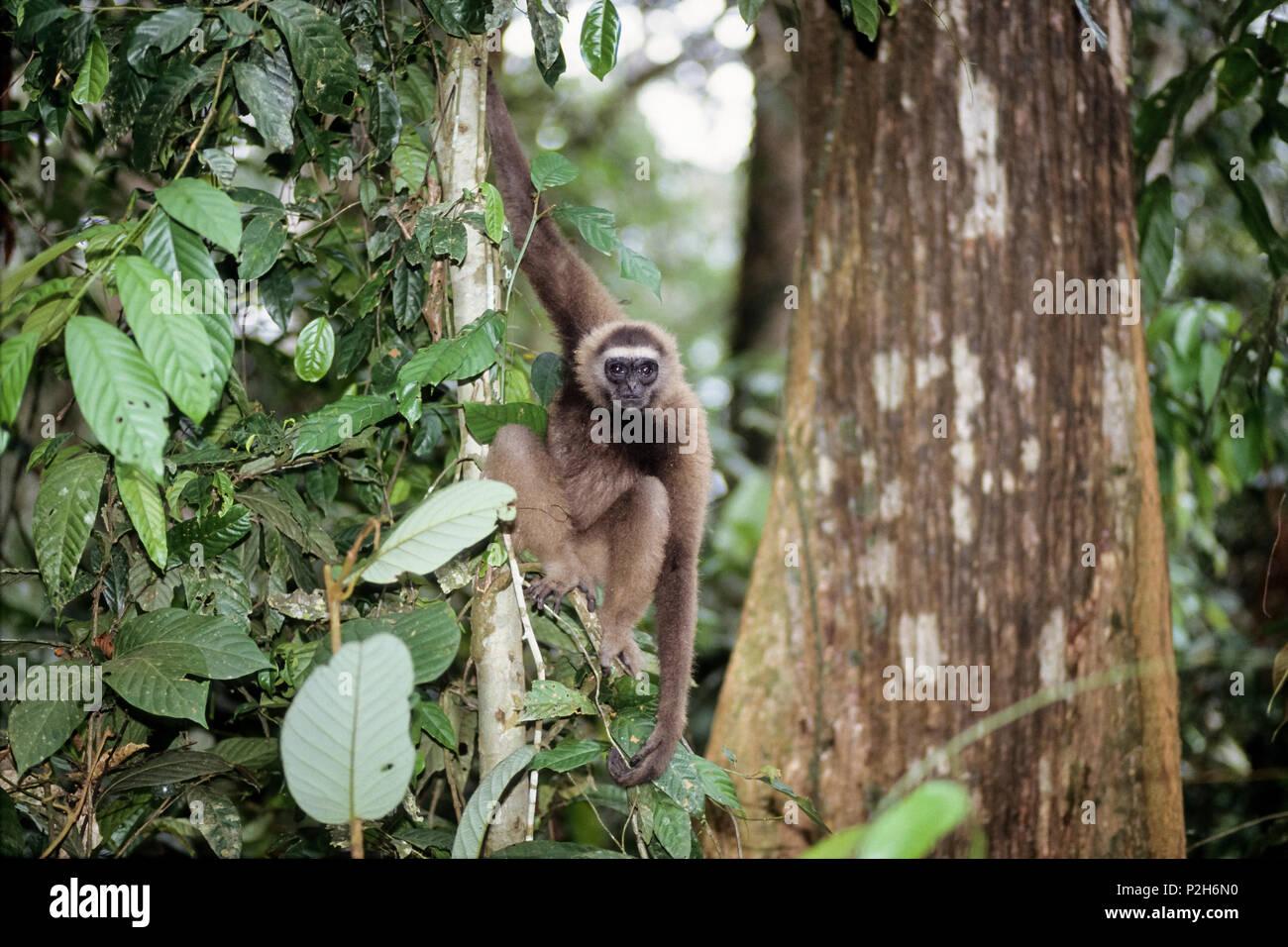 East Bornean Gray Gibbon in rainforest, Hylobates funereus, Sabah, Borneo, Malaysia - Stock Image