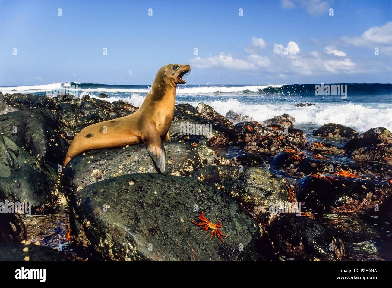 Galapagos Sea Lion, Zalophus wollebaeki, Fernandina, Galapagos Islands, Ecuador, South America - Stock Image