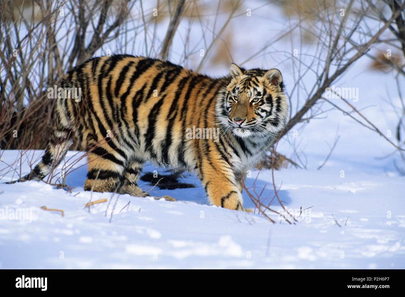 Young Siberian Tiger in snow, Panthera tigris altaica, China, captive - Stock Image