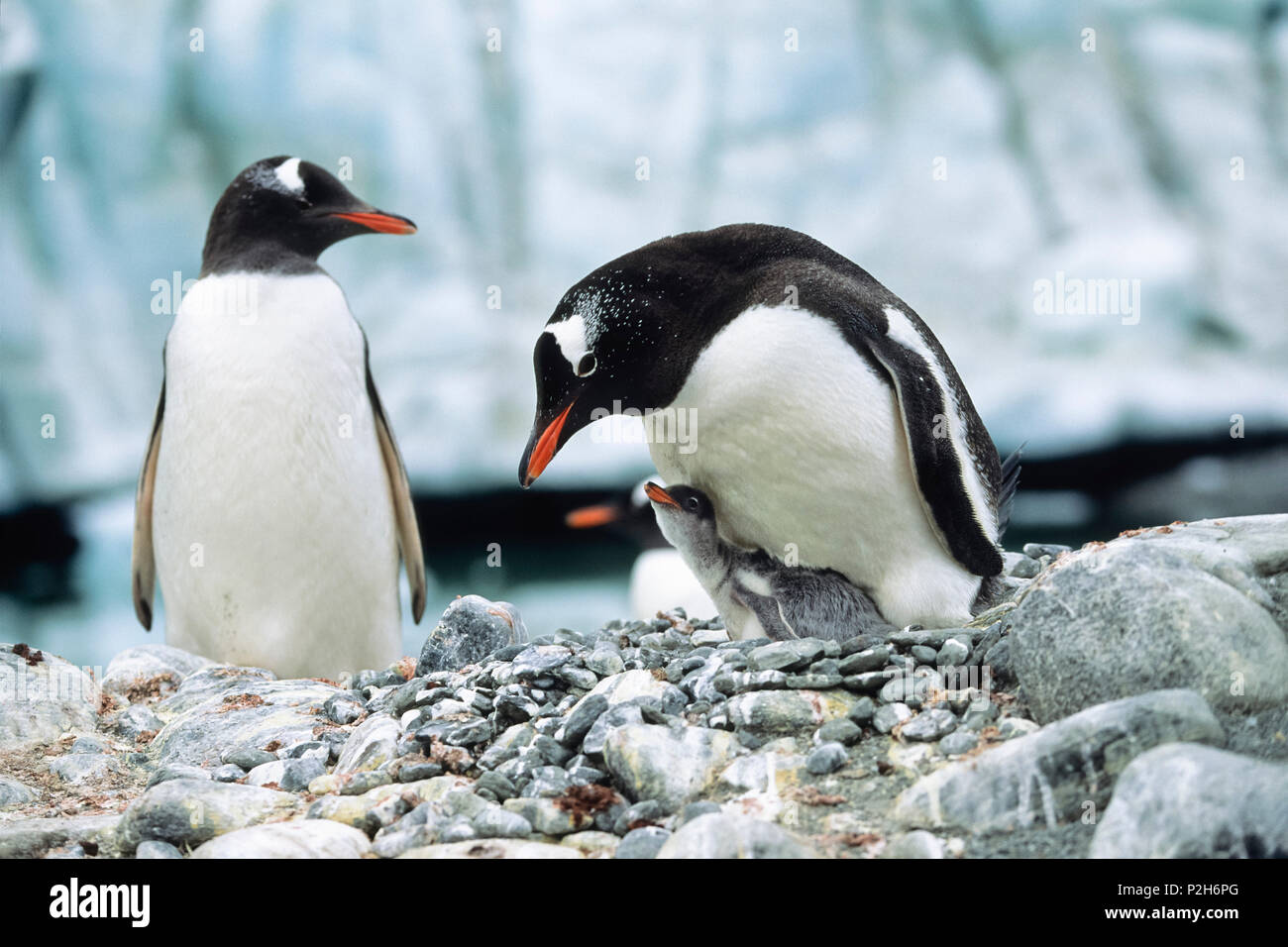 Gentoo Penguin with chick, Pygoscelis papua, Antarctic peninsula, Antarctica - Stock Image