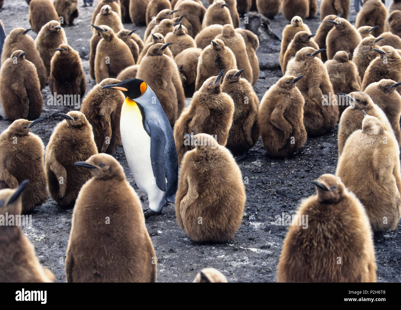 King Penguin with chicks, Aptenodytes patagonicus, South Georgia, Antarctica - Stock Image