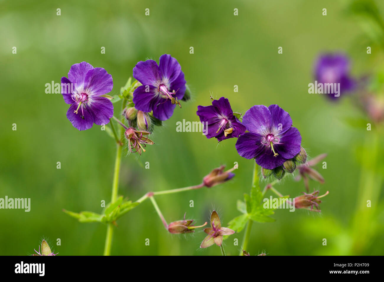 Dusky Cranesbill, Geranium phaeum, Bavaria, Germany Stock Photo