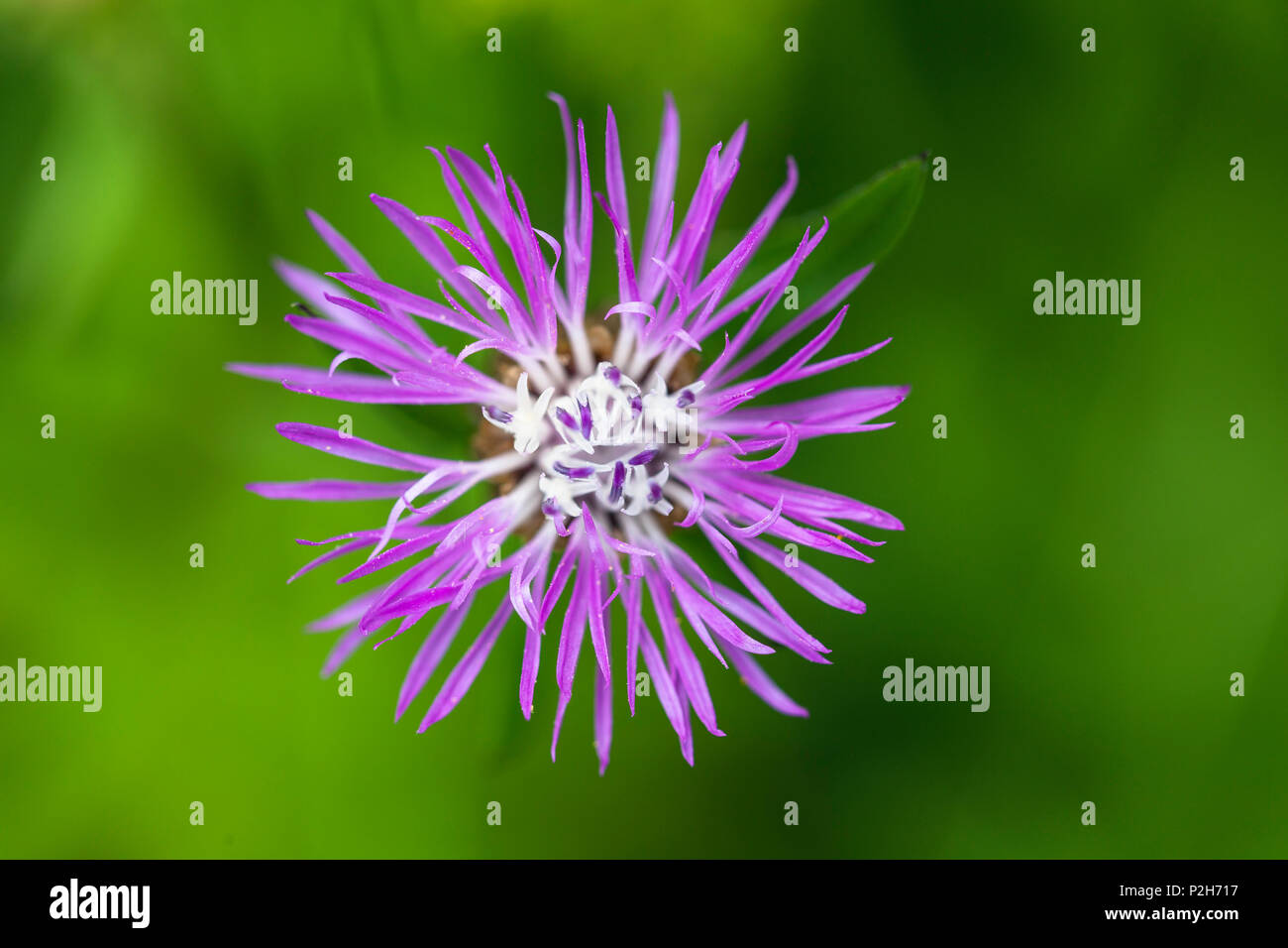 Wildflower, Centaurea spec., Upper Bavaria, Germany - Stock Image