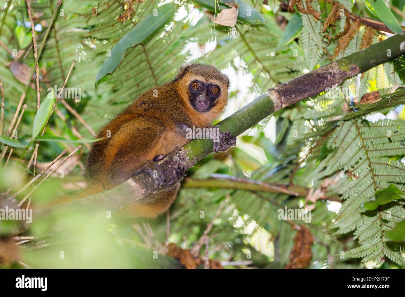Golden Bamboo Lemur, rainforest of Ranomafana, Hapalemur aureus, Madagascar - Stock Image