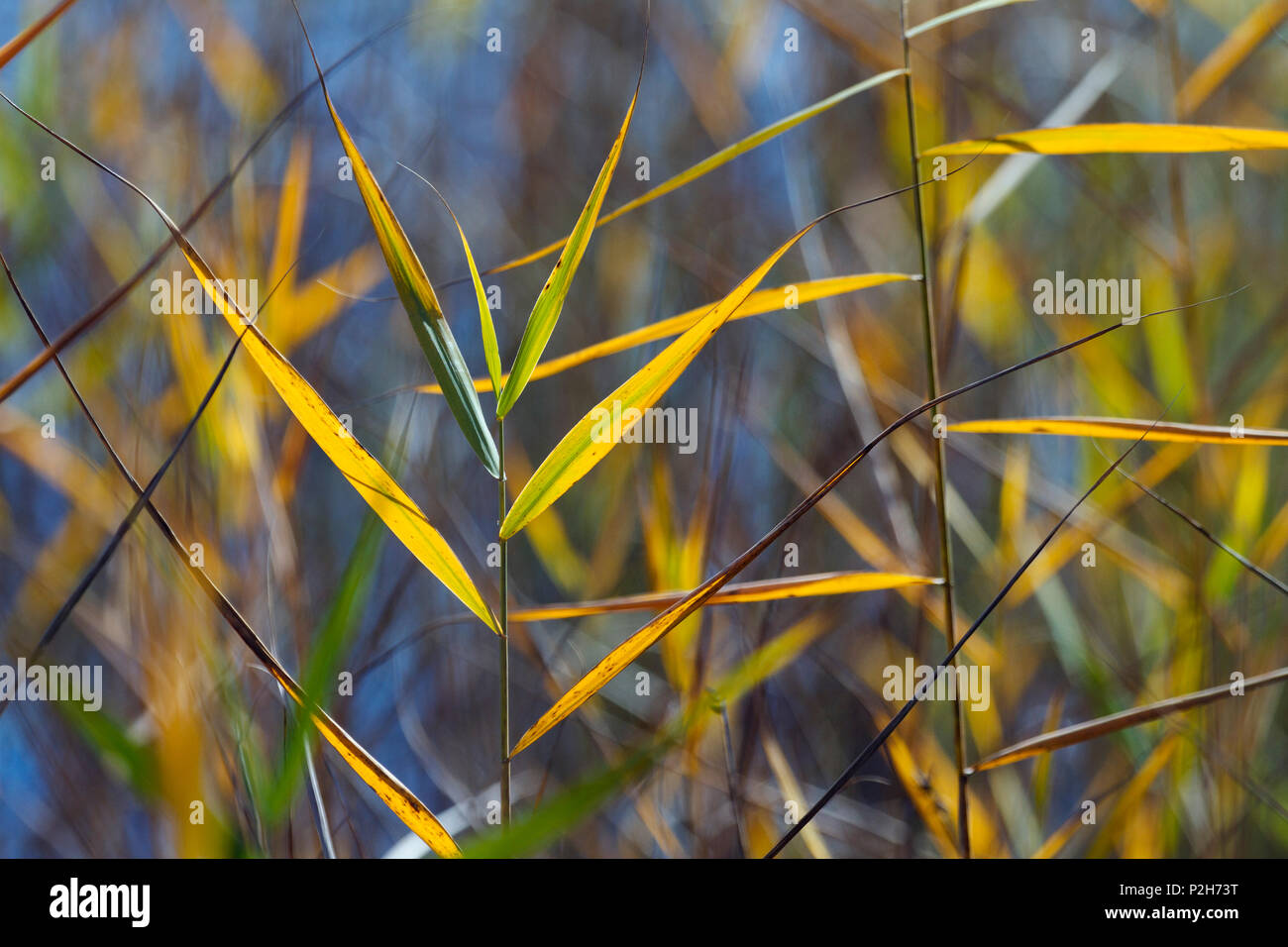 reed in autumn, Phragmites australis, Upper Bavaria Germany - Stock Image