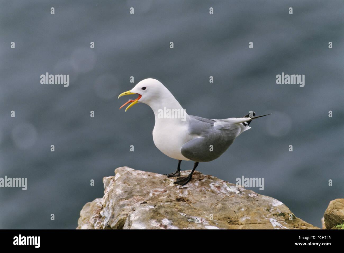 Kittiwake calling, Rissa tridactyla, Shetland Islands, Scotland - Stock Image